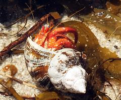 Hermitage (LeelooDallas) Tags: australia tasmania freycinet peninsula ntional park landscape animal hermit crab shell ocean sea dana iwachow fuji finepix hs20 exr wineglass bay