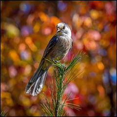 Autumn Whiskey Jack (Rodrick Dale) Tags: whiskey jack grey jay autumn colour bird algonquin provincial park ontario canada