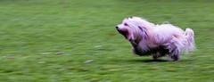 Speedy Alex (photalena) Tags: hamburg hunde seminar seminarhundefotografie dog pet running