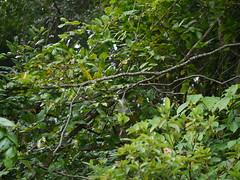 Baghasora (Assamese: ) (dinesh_valke) Tags: fabaceae peafamily legumefamily beanfamily caesalpiniaceae perennial liana climbingshrub caesalpiniacucullata mezoneuroncucullatum mezoneuronmacrophyllum mezoneurumcucullatum baghanchora baghasora boksikanra gabbusikaya hoodedfloweredbrasiletto indu jakshil kakakalingivalli lingkhang mattaseege mengojakskel mulloduballi matticcingai neangkupzhu nite ragi sahyadrithorn
