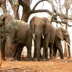 Elephants cooling down in Kruger National Park (Andreas#Marie) Tags: natgeo nature animal drought krugernationalpark kruger ears elephants elephant
