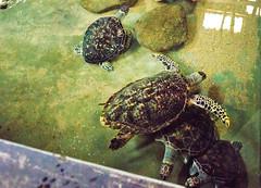 DSC_8673 (H Sinica) Tags: srilanka  ceylon  kosgoda turtle farm hatchery