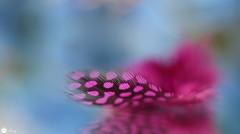 Ethereal beauty (Trayc99) Tags: feather delicate softbackground softness beautyinmacro beautyinnature beautiful purple colorful colours macro closeup reflection