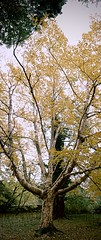 "BIRTCHWOOD VERTORAMA (LARSERAQ) Tags: panoramamaker autostich vertorama fredfyldtpark marselis skov forest birchwood sony rx1rm2 rx1rmk2 rx1rmii rx1rmkii ""carl zeiss"" ""sonnar 235"" ""full frame"" ""cmos image sensor"" larseraq aarhus jutland denmark"
