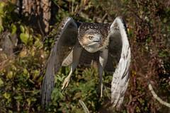 Red-Tailed Hawk (NickJaramillo) Tags: birdofprey hawk wildlife nature greatswampnwr birds newjersey sigma150600sport canon raptor bif redtailedhawk