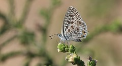 Lang's Short-tailed Blue Butterfly      (Leptotes pirithous) (nick.linda) Tags: langsshorttailedbluebutterfly leptotespirithous butterflies lycaenidae commonzebrablue canon7dmkii canon100400 costablancaspain