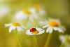Erigeron annuus (ElenAndreeva) Tags: yellow red forest spring color sun light summer beautiful cute colors green 500px insect canon garden soft mood dream colorful daisy sweet focus bug amazing ledybug nature macro flower erigeron