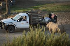 Late Afternoon Snack (ToddLahman) Tags: erick blackrhino rhino sandiegozoosafaripark safaripark safaritram safari escondido canon7dmkii canon canon100400 keeper apple snack