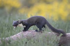 Scotland (richard.mcmanus.) Tags: scotland scottishhighlands blackisle mcmanus mammal jamesmoore animal wildlife britishwildlife gettyimages