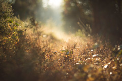 October gold (Tammy Schild) Tags: 402 field grass plants golden autumn fall morning light sunrise haze blur bokeh nature october helios