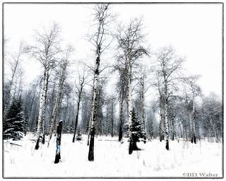 _BW74405-Snowy Aspen