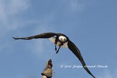 Bald_eagle001 (Stefan Heinrich Ehbrecht) Tags: eagle aguila adler seeadler weiskopfseeadler baldeagle americaneagle greif greifvogel birdofprey predator