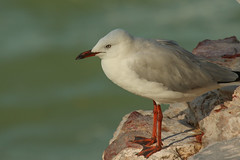 Silver Gull (Janis May) Tags: silvergull northernterritory seagull