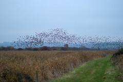 Starling murmurations (Victor Engmark) Tags: unitedkingdom otmoor outdoor clouds birds murmuration starlings sturnusvulgaris