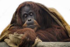 Great Ape (Tony Shertila) Tags: 20160206114258 backford england gbr geo:lat=5322656488 geo:lon=288335323 geotagged unitedkingdom uptonbychester outdoor europe britain chester upton chesterzoo animal mammal fur eyes