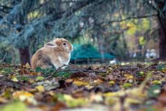 Parco Bucci - Faenza (ernie_mcmillan) Tags: parco bucci faenza autunno coniglio rabbit