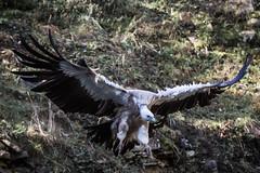 Geier | vulture (MyMUCPics) Tags: wildpark wildparkbadmergentheim zoo 2016 oktober october outdoor nature bird vogel tier animal autumn herbst fall geier vulture aasfresser scavenger carrioneater