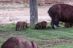 _1060508.jpg (riandar) Tags: safari mammals nature babycapybara pantanal capybara southwild brazil wildlife