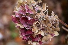 Frozen (nehad1) Tags: nature winter blte pflanze gefroren frozen flower saveearth