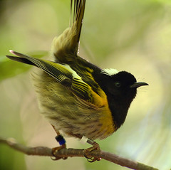 IMGP5789 Hihi male Zealandia Wellington NZ 08-11-16 (Donald Laing) Tags: new zealand wellington zealandia wildlife sanctuary native birds donald laing