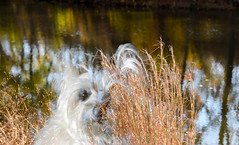one with nature, HSS! (Dotsy McCurly) Tags: one with nature lover beautiful park water reflections trees grasses autumn bokeh dof ruffy cute dog cairnterrier hss happy sliders sunday adobe photoshop nikon d750 nj sky