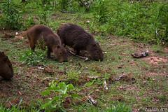 Hydrochoerus hydrochaeris (azambolli) Tags: brasil nature natureza mamifero mammal capivara capybara