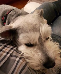 Busy day.... (jmaxtours) Tags: apollo minischnauzer schnauzer busyday tired relaxing