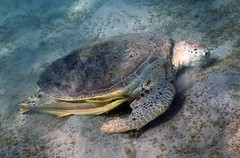 Green Sea Turtle (Chelonia mydas)/Live sharksucker  (Echeneis naucrates) (Ardeola) Tags: cheloniamydas greenseaturtle greenturtle grönhavssköldpadda echeneisnaucrates livesharksucker marsamubarak egypt turtle