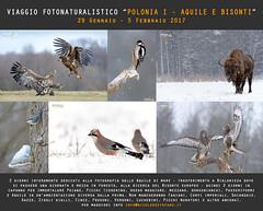 "Viaggio Fotografico ""Polonia I - Aquile e Bisonti"" (Nicola Destefano) Tags: poland polonia viaggiofotografico fotografianaturalistica bisonteeuropeo aquiladimare gennaio 2017"