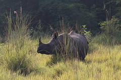Indian rhinoceros Chitwan National Park