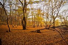 Golden (Future-Echoes) Tags: 4star 2011 autumn essex golden light sparkeywood tokina tokina1116mmf28 trees wickhambishops woodland