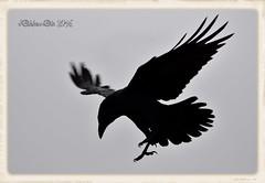 CUERVO COMUN (Corvus corax) (JORGE AMAYA BUSTAMANTE - JAKKEMATE) Tags: cuervo comun corvus corax jakkemate jorge amaya bustamante nikon d500 sigma 150500