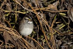 White-throated Sparrow (lamoustique) Tags: salmoncreek salmoncreektrail vancouver washington zonotrichiaalbicollis whitethroatedsparrow bruantgorgeblanche