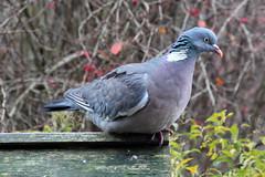 Wood Pigeon (NTG842) Tags: stalybridge tameside england garden birds