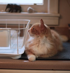bright-eyed profile of Jimmy (rootcrop54) Tags: jimmy male orange ginger tabby dish drain kitchen company profile