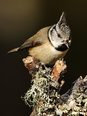 IMG_0632 (noelbarke) Tags: crested bird tit paridae pine forest scotland loch garton passeriformes parus cristatus cairngorm noel barke caladonian coniferous lophophanes abernethy