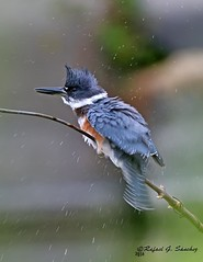 Belted kingfisher - Martin-pcheur d'Amrique - Martn gigante norteamericano - Megaceryle alcyon (elgalopino) Tags: belted kingfisher martn gigante norteamericano coraciiformes alcedinidae elgalopino nikon d500 pajaros oiseaux birds nature naturaleza wildlife fauna faune libertad freedom libertee aves bird parc rapides lasalle qubec quebec  vogel  pssaro    uccello frayere boucherville frayre martinpcheurdamrique megacerylealcyon