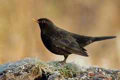 Blackbird in the frost (david.england18) Tags: blackbird smallbirds various tits blue coal great queensparkheywood canon7d canonef70200mmf28lisllusm birdsuk