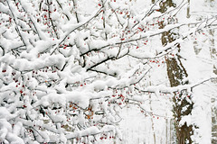 Red Berry Ice Cream (Goromo) Tags: snow 2016 berries redberries branches heavysnow chicago winter