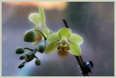 tenderness (i.v.a.n.k.a) Tags: metaphor tenderness flowers orchid buds bloom life ivanadorn ivanahesova macro sonyalpha
