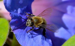 1 (Michael-RH) Tags: bee closeup animals insect