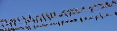 NEPAL,  Tauben en masse, 15016/7654 (roba66) Tags: reisen travel explore voyages urlaub visit roba66 nepal asien südasien asia city stadt capitol kathmandu tauben vogel vögel bird birds oiseaux pigeon