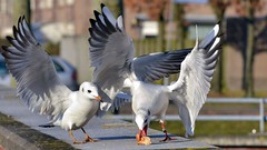 ND8_7744 (charlesvanlangeveld) Tags: vogels meeuwen