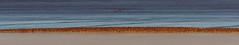 Dunlin Departure (1 of 6) (Robin M Morrison) Tags: dunlin riverparrett somerset