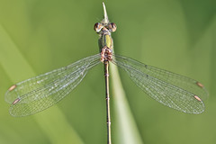 Other View (michel1276) Tags: makro macro dragonfly libelle libellule odonata insect insekt canon 100mm