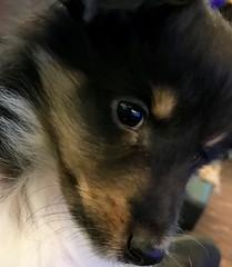 Puppy (wpgroy) Tags: puppy sheltie love dog shetlandsheepdog