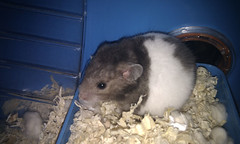 Oscar building his nest (Chimerastone) Tags: pet cute animal mammal oscar shy hamster syrian