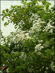 Day 178 (kostolany244) Tags: life white tree green texture apple june rose germany europe flowering day178 geo:country=germany olympuse510 kostolany244 3652013 365the2013edition life2013 2762013