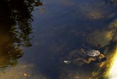 Teichfrsche bei der Paarung (Fidi987) Tags: mating paarung poolfrog teichfrosch