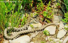 BISCIA D'ACQUA ( water snake ) Oasi di Cronovilla Vignale Parma ( Oasis di Cronovilla Vignale Parma ) http://cronovilla.weebly.com/ (DIOGENE12) Tags: park parco nature birds animals natura uccelli oasis animali oasi